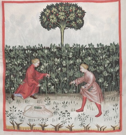 Illustration of two people in medieval dress, picking beans